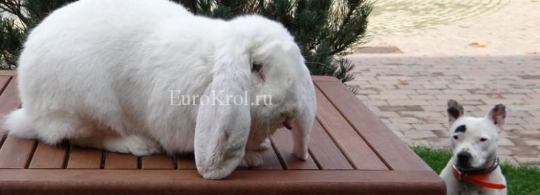 Белый французский баран с голубыми глазами