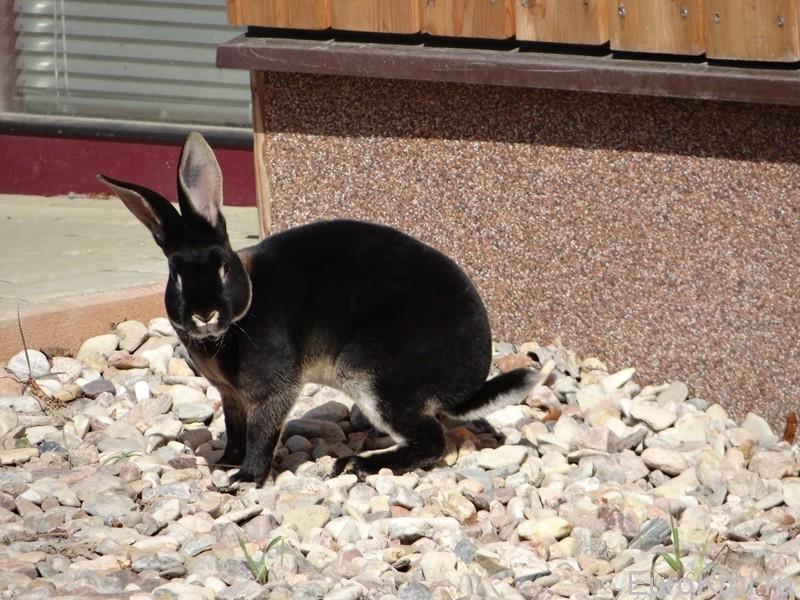 Кролики рекс оттер шварц