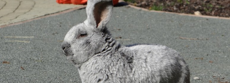 Кролик Большое светлое серебро