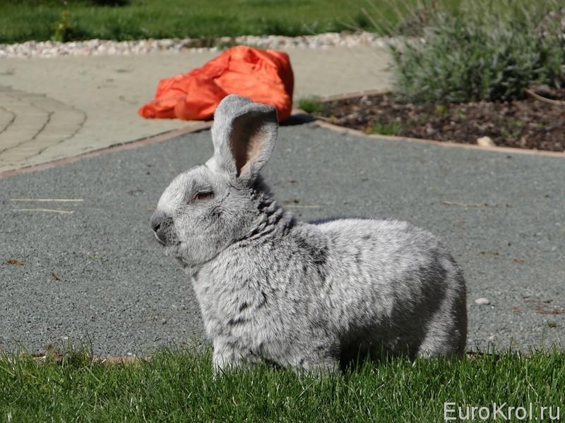 Кролик Большое светлое серебро в Чехии