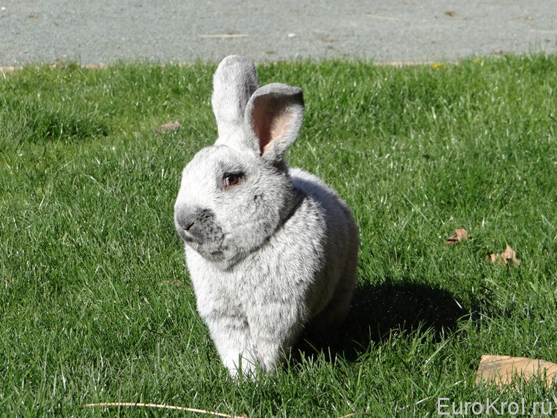 Кролик БСС