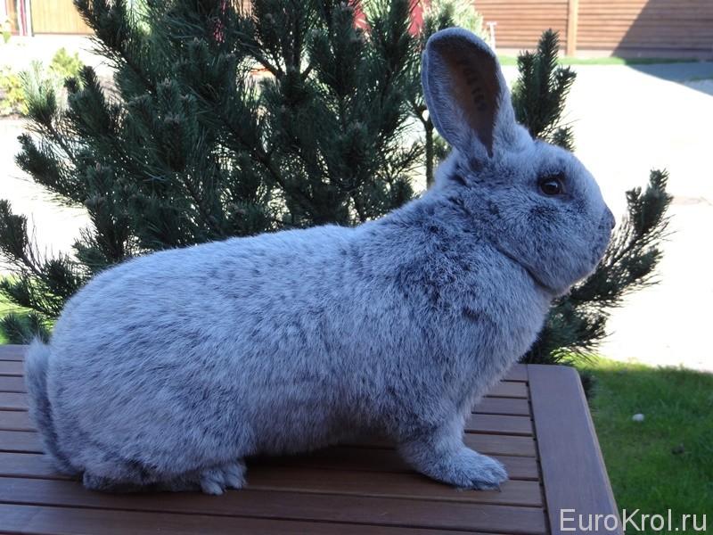 Кролик Большое светлое серебро на столе