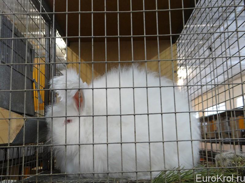 Ангорские кролики в хозяйстве ЛПХ Моряк