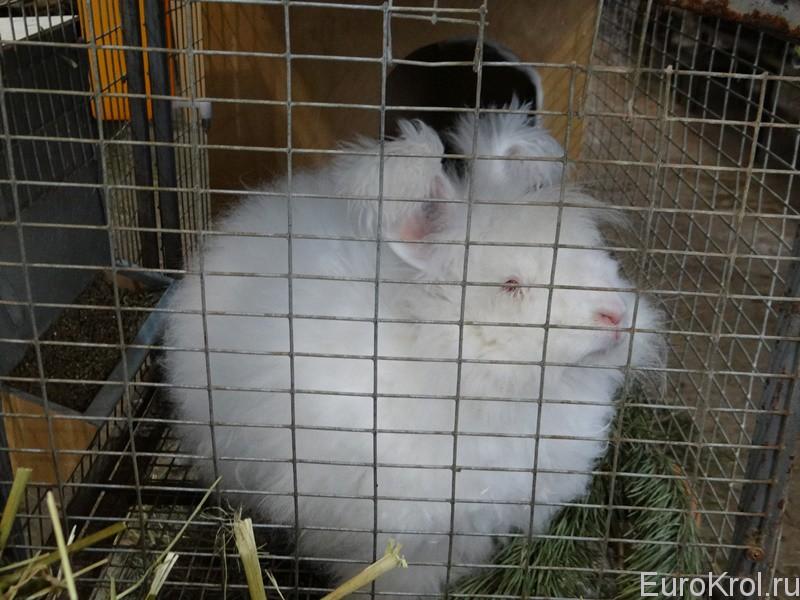 Ангорские пуховые кролики содержание в клетках