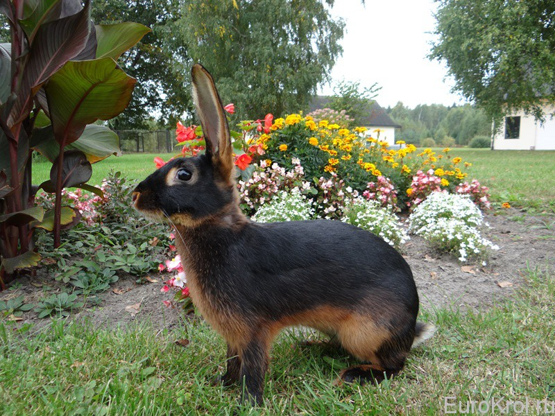 Кролик Бельгийский заяц в цветах