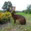 Кролик Бельгийский заяц.
