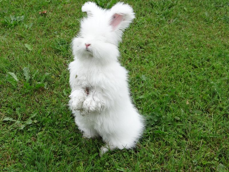 Ангорский кролик ест зелёную траву