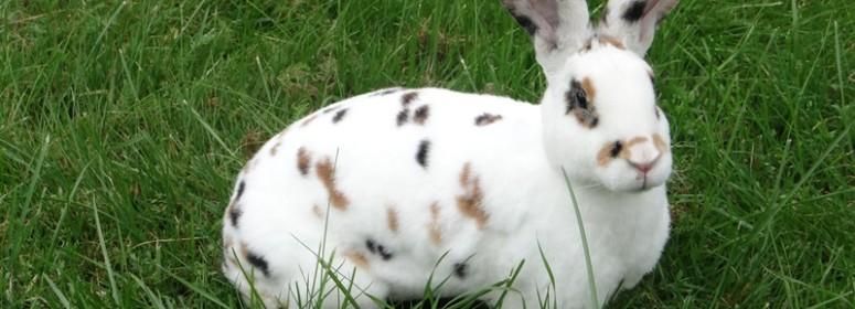 Кролик рекс трёхцветный