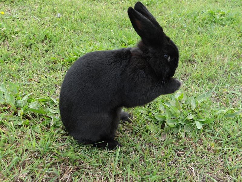 Венский кролик чёрного окраса