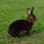 Кролик кастор рекс. Castor-Rexe