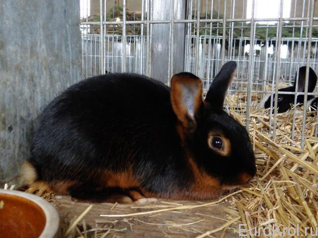Кролик чёрно-огненый