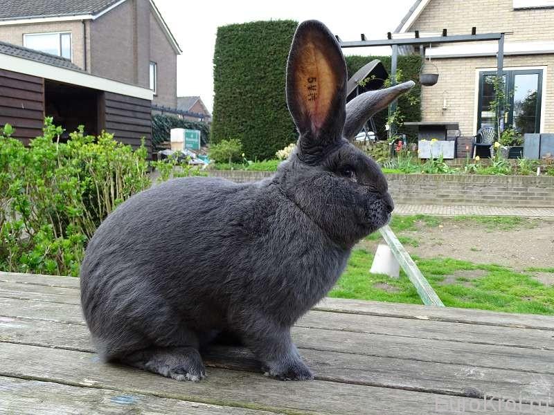 Фламандский гигант