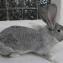 Порода кроликов фландр. Окрас шиншилловый.