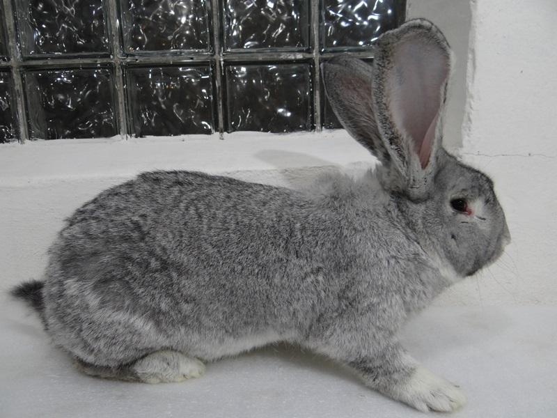 Порода кроликов фландр. Окрас шиншилловый