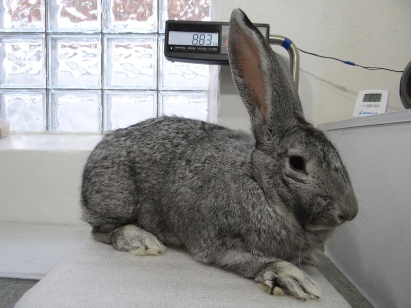 Кролик Фландр шиншиллового окраса
