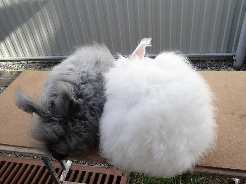 Ангорские пуховые кролики белые и голубые