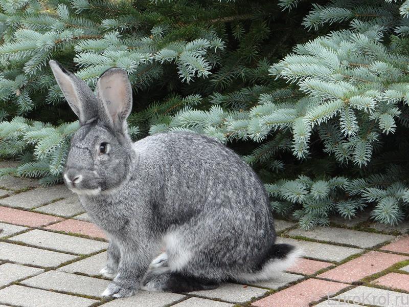 Большая шиншилла порода кролика