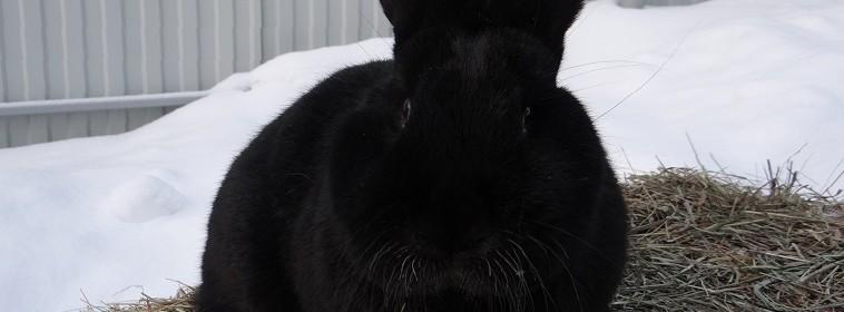 Венский чёрный