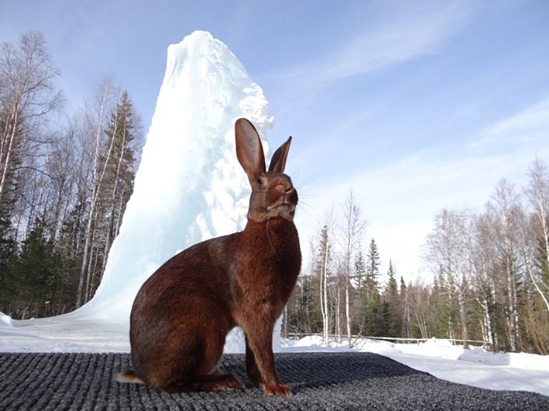 Кролик Бельгийский заяц красно-коричневый