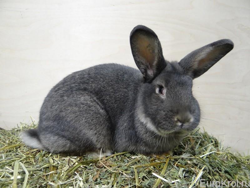 Венский серо-голубой кролик из Европы
