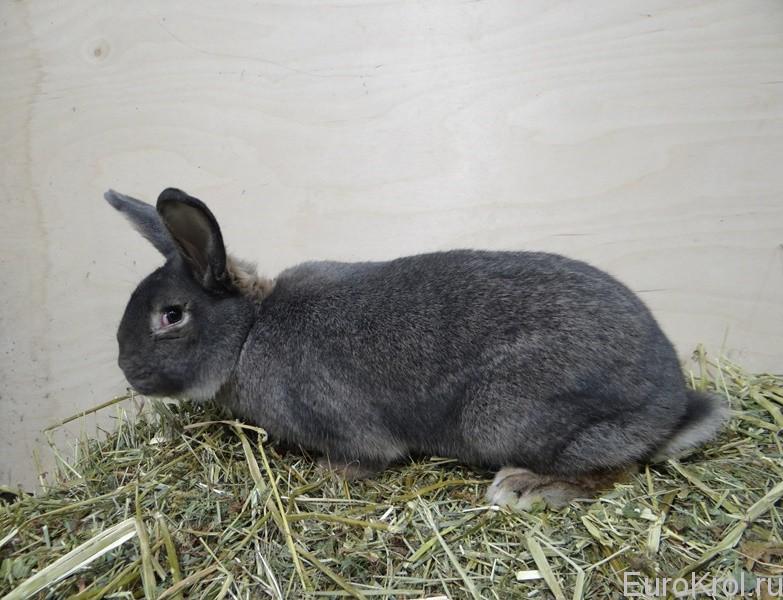 Венский серо-голубой кролик от Моряка