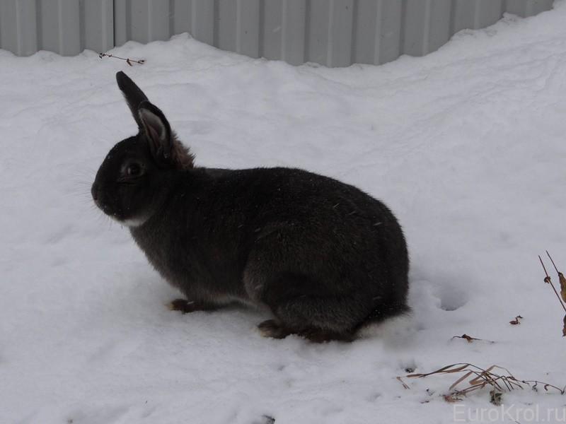 серо-голубой кролик из Европы