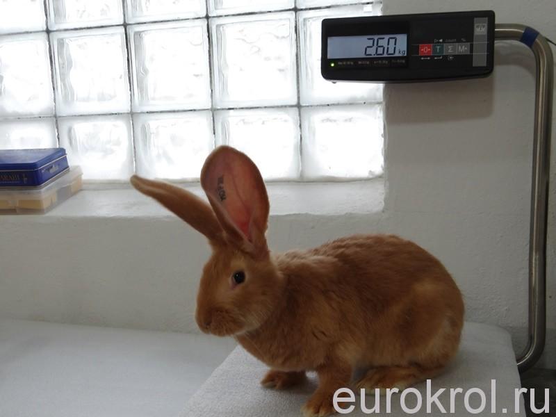 Рыжие крольчата gelb