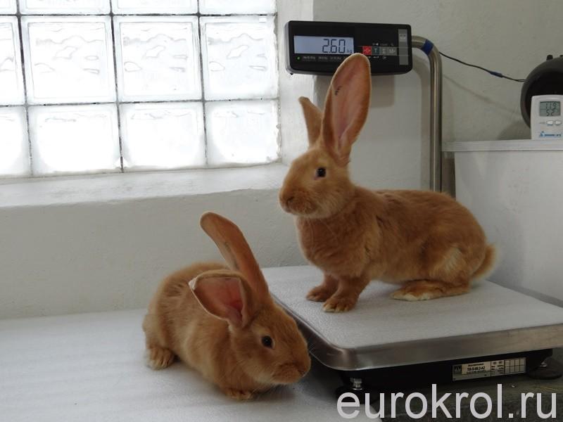 Крольчата рыжие ризен gelb