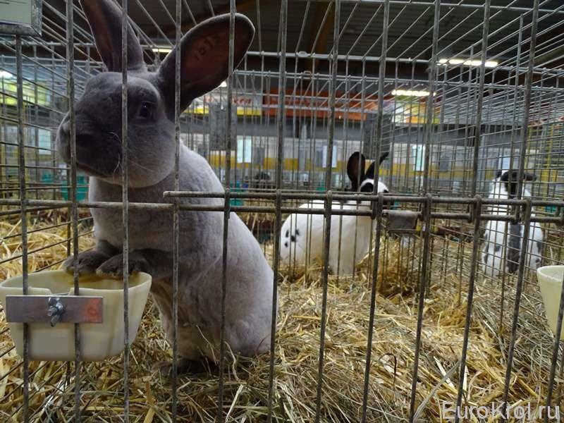 Кролик рекс мардер Германия
