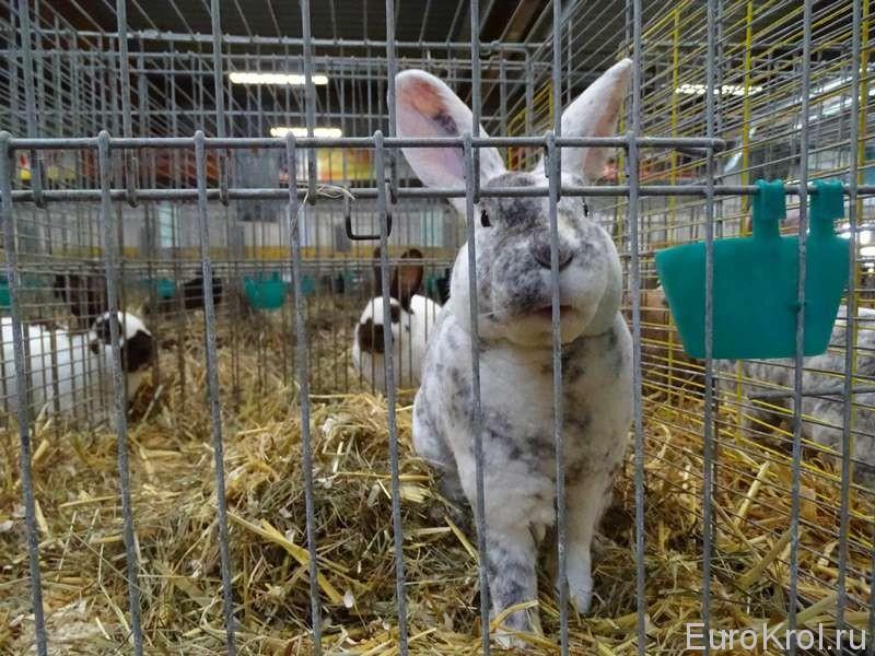 Кролик рекс рен Гиссен выставка