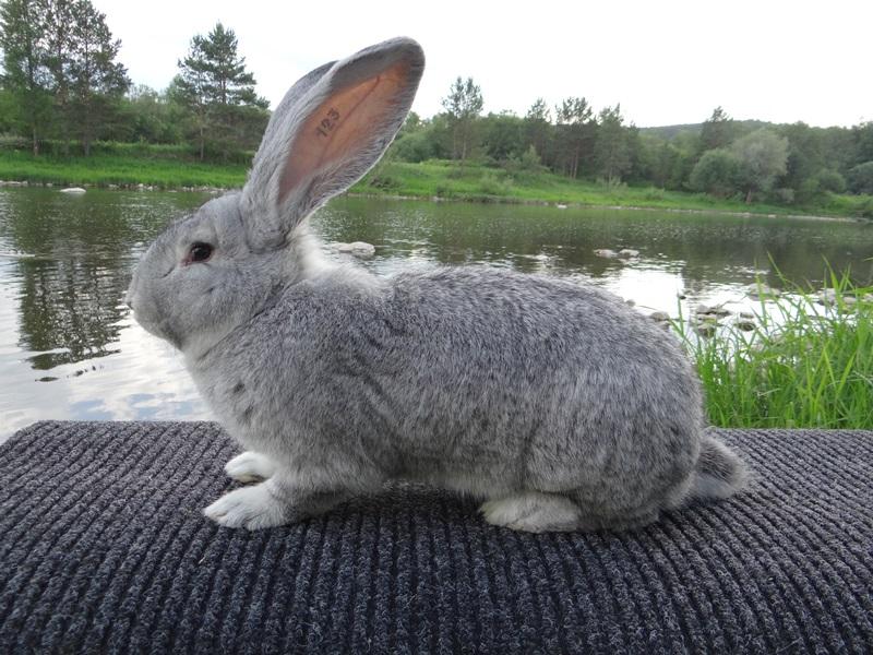 Кролик Фландр шиншилловый