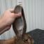 Ризен ухо 23 см
