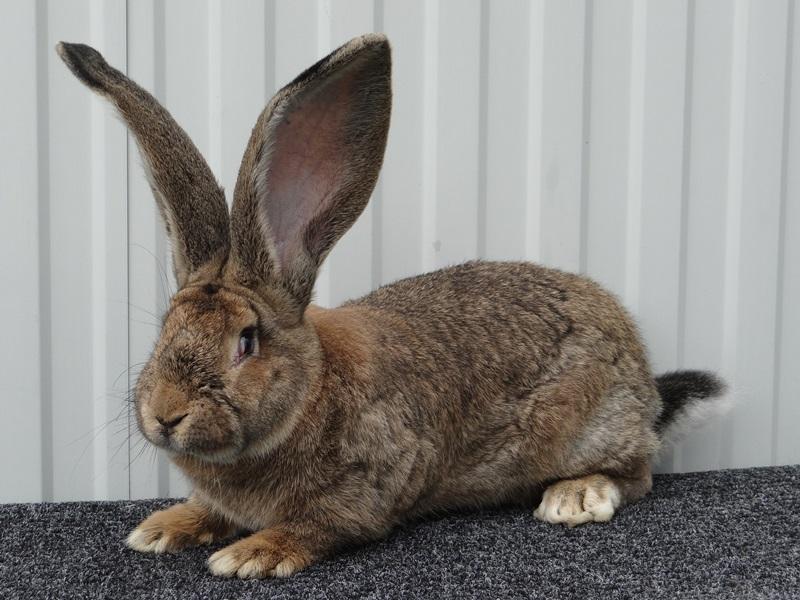 кролик ризен картинки что- быстро