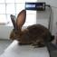 Ризен крольчата