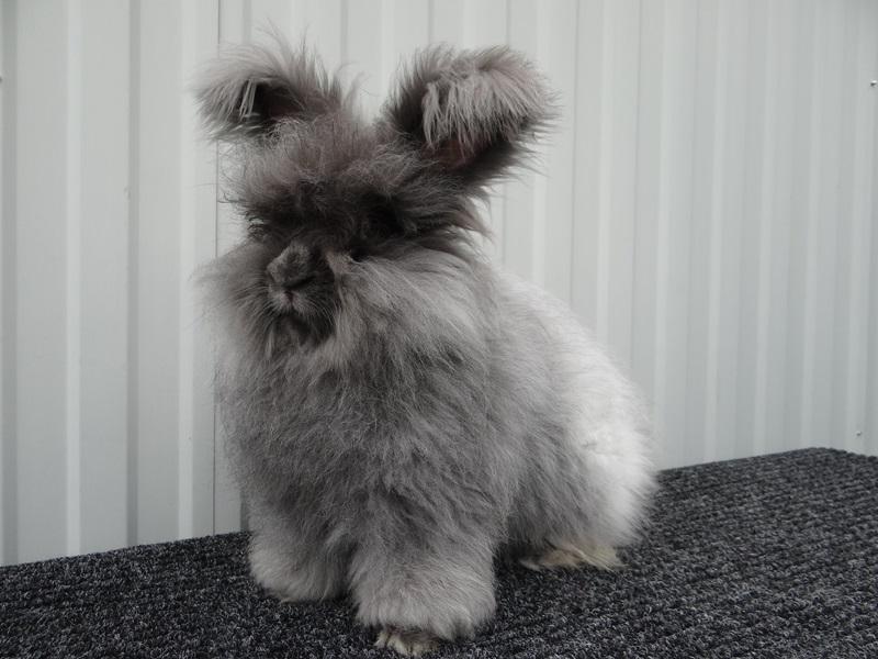породы пуховых кроликов
