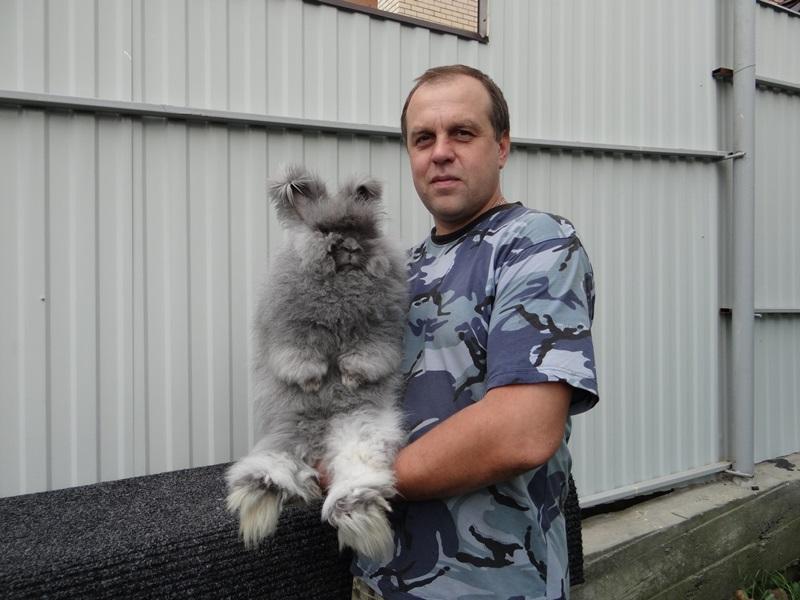 Ангорский пуховый кролик голубой