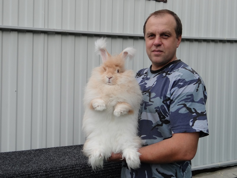 Ангорский кролик gelb