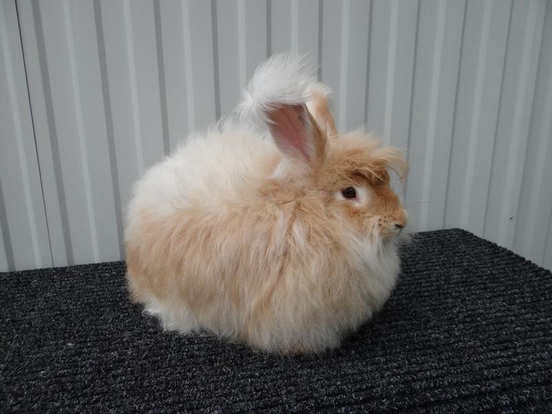 Ангорский кролик рыжий