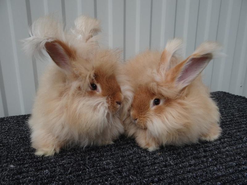 рыжие пуховые кролики