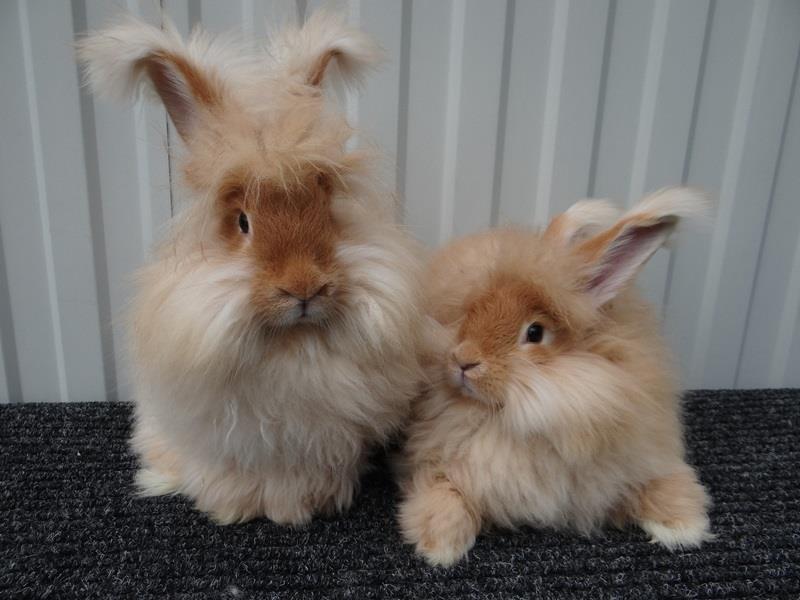 Ангора пуховая порода кроликов
