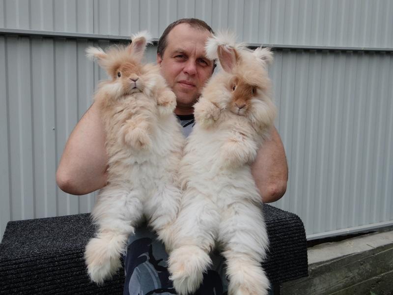 Ангорский пуховый  кролик ЛПХ Моряк