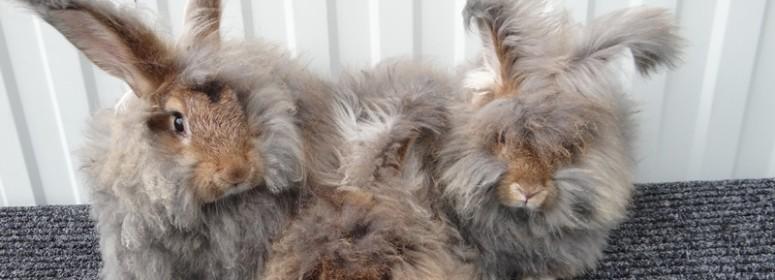 Ангорские кролики