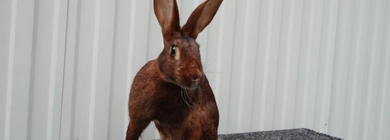 Кролик Бельгийский заяц