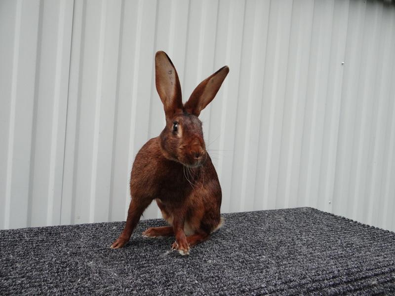 Кролик Бельгийский заяц ЛПХ Моряк