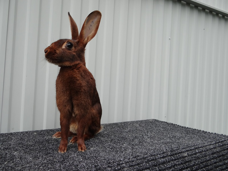 Бельгийский заяц кролик