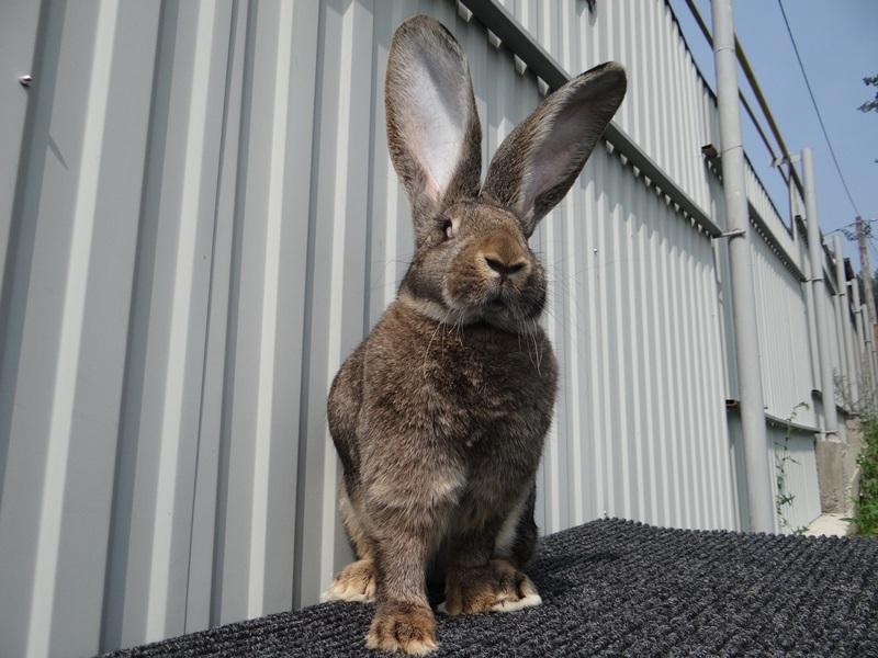 обязан каким цветом кролик великан фото его