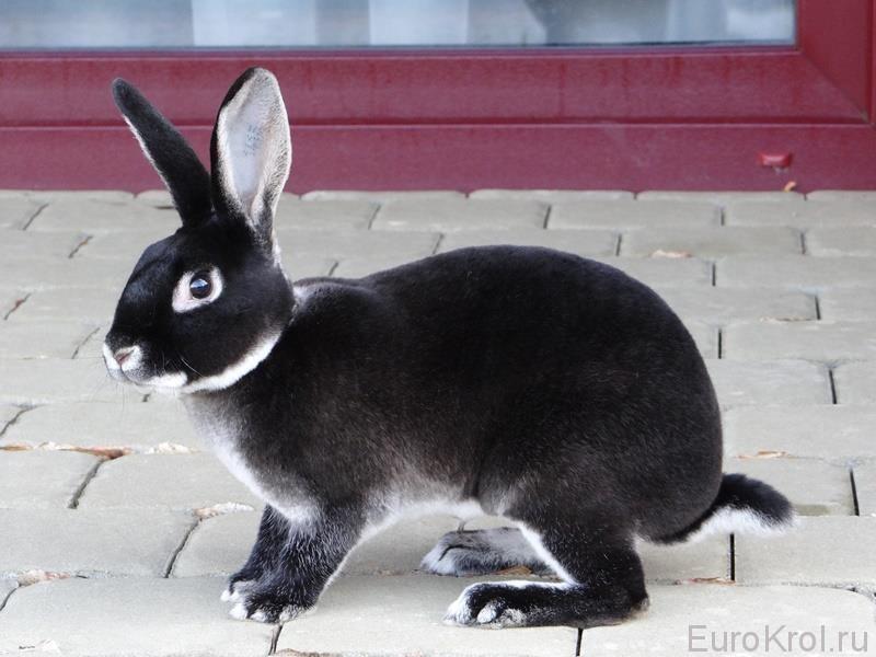 Кролики породы рекс Племенные кролики из Европы - Part 5
