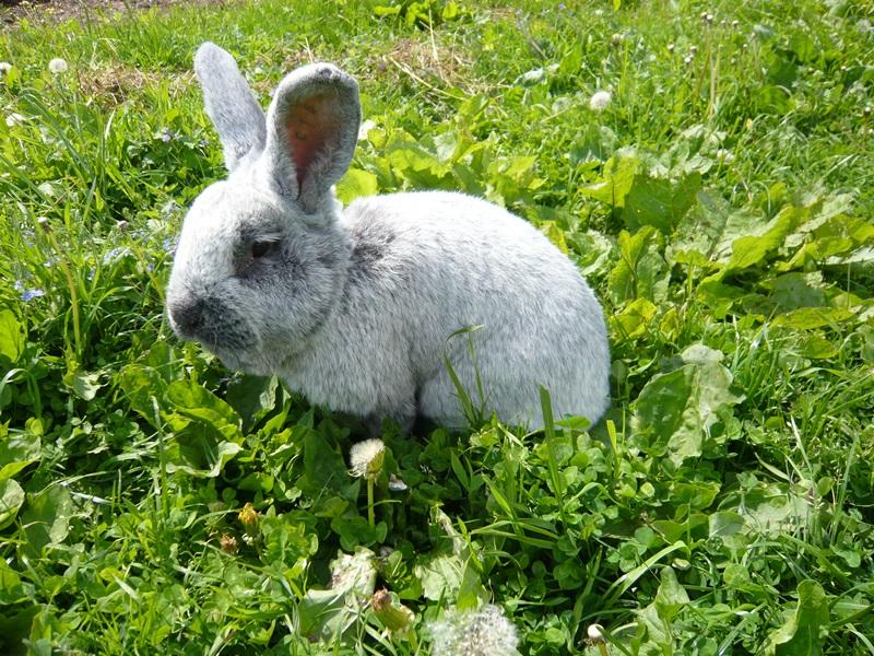 В Латвию за кроликами