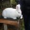 Новозеландский белый