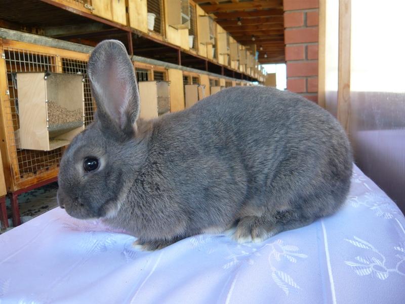 Венский кролик серо-голубой